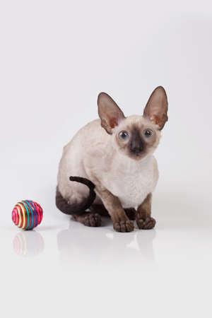 oriental white cat: Cornish Rex kitten isolated on white background Stock Photo