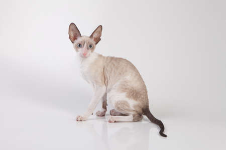 cornish rex: Cornish Rex kitten isolated on white background Stock Photo