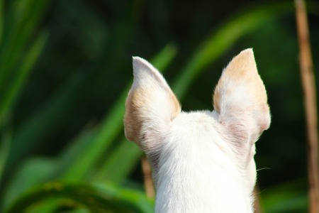 White, alert, dog ears from behind with out of focus green background