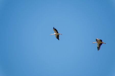 currents: Group of storks in flight, forming figures and taking advantage of warm currents