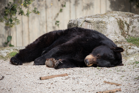 Brown bear in captivity spends the day sleeping and without any activity typical of his breed.