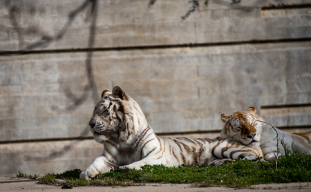White tigers resting a sunny day in captivity at the zoo in madrid, spain