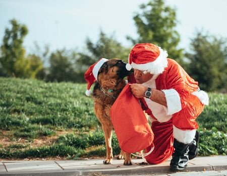 Stock photo of Santa Claus without beard playing with a German shepherd dog who is pulling him out of the gift bag. Christmas time Reklamní fotografie
