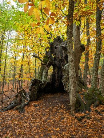 Stock photo of a chestnut tree in the middle of a forest with dry leaves on the ground Reklamní fotografie
