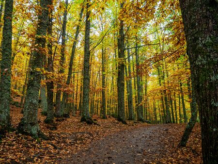 Stock photo of a path in the middle of the chestnut forest with the yellow leaves on the ground Reklamní fotografie