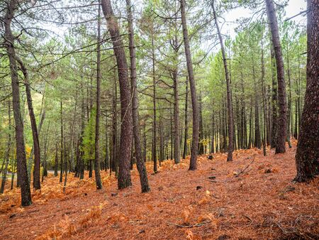 Stock photo of a Forest of chestnut and pine trees in autumn with yellow leaves on the ground