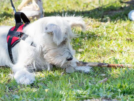 White Schnauzer puppy looks closely at an ant on the ground.