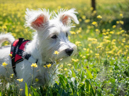 Puppy schnauzer puppy in white color and with red harness watch closely
