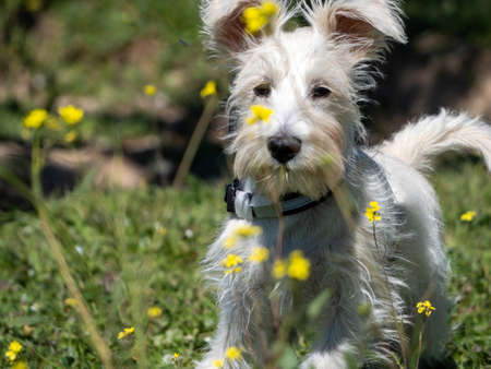 schnauzer puppy in white, looking carefully at the yellow flowers around him