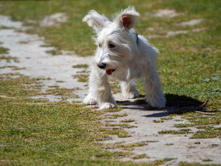 White Schnauzer puppy waiting for his owner in the field