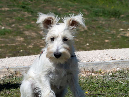 White Schnauzer puppy waits patiently for his owner to arrive.