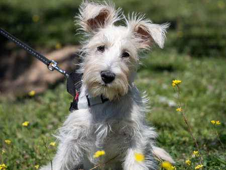 Puppy schnauzer in white color poses in a field with yellow flowers Foto de archivo