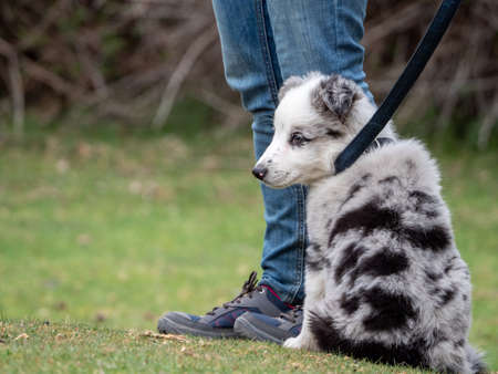 Puppy sitting next to its owner looking to the side. Black spotted white puppy on leash in a rural scene. Foto de archivo