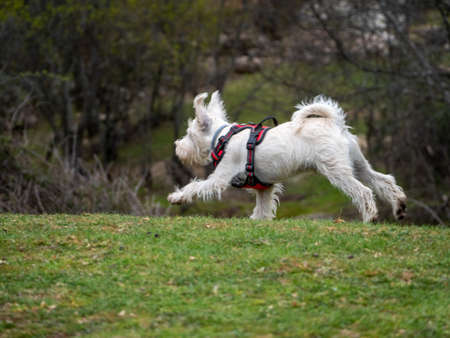 White dog on red harness running in a rural scene. Energetic puppy running in a meadow.