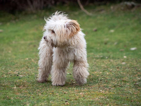 Front view of puppy looking to the left in the park. Shaggy puppy walking on the grass. Foto de archivo
