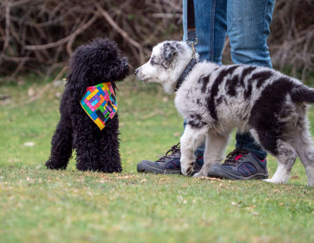 Two puppies sniffing from nose to nose next to an unrecognizable person in a park. Black spotted puppy and black puppy with a multicolored bandana getting to know each other.