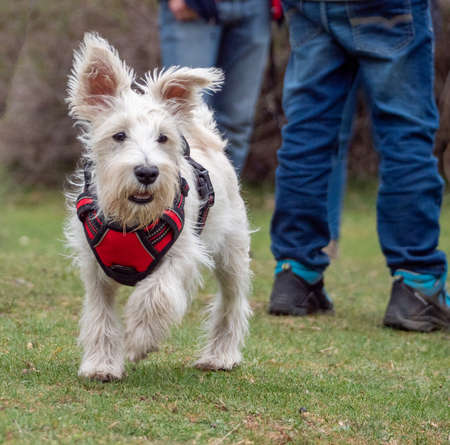 Puppy with red harness walking in the park looking away. Dog walking away with two unrecognizable people behind. Foto de archivo