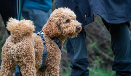 Brown curly haired puppy standing looking away. Rear view of a shaggy dog in the park with a blue harness and people behind.