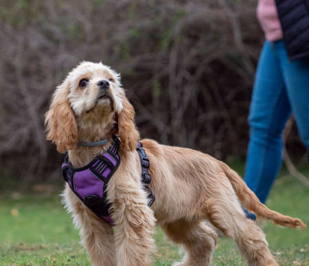 Puppy with purple harness standing looking up. Beautiful brown dog in a park with unrecognizable person walking behind.
