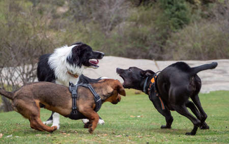 Excited three dogs playing on a meadow. Three dogs running and playing together.