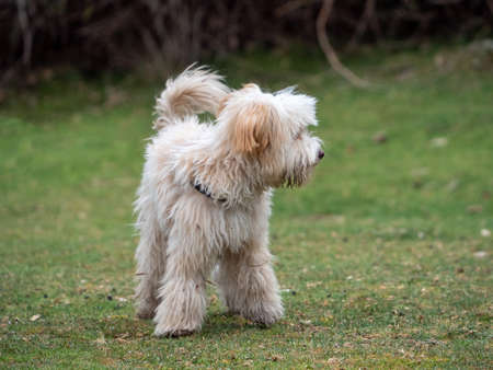 Front view of puppy looking to the right in the meadow. Shaggy puppy walking on the grass. Foto de archivo