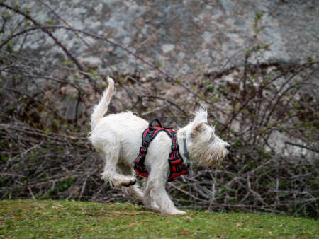 White dog on red harness running and jumping in a rural scene. Energetic dog jumping in a field.