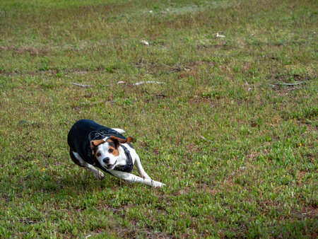 Puppy running fast over a meadow. White, brown, black dog running very fast on grass.