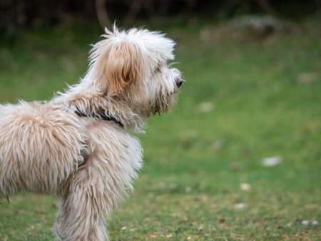 Side view of puppy standing in a rural scene. Cropped view of shaggy puppy on the grass.