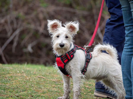 White dog on red harness and leash looking at camera. Dog next to his owner in a rural environment.