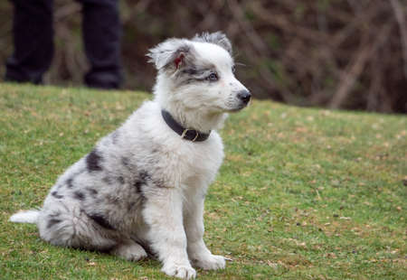 White puppy with black spots sitting looking away. Black and white puppy with collar on grass in a meadow.