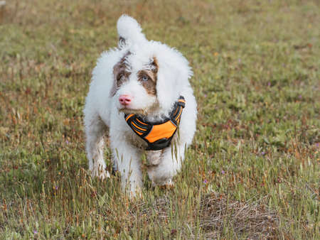 Woolly white puppy walking over a meadow. White puppy with spots in its face wearing orange harness.