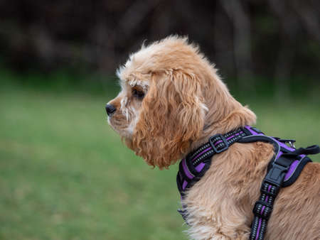 Cropped view of puppy looking to left side in park. Close-up view of brown puppy with harness looking to the left side of image.