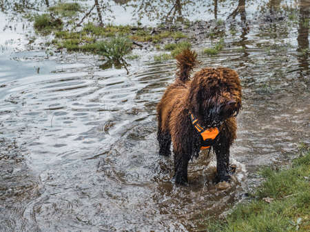 Woolly puppie standing on point in lagoon. Brown puppy with harness standing inside of water of lake.