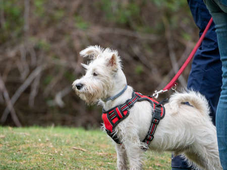 Close-up of white puppy looking to left side in park. White puppy standing with harness and leash looking to the left side of image. Foto de archivo