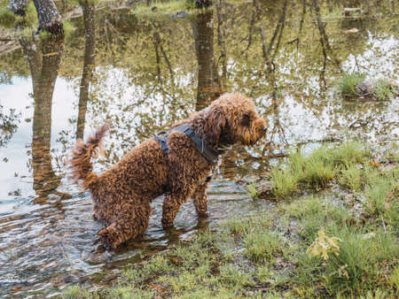 Side view of a woolly puppy standing on point in lagoon. Brown puppy with harness standing inside of water of lake. Foto de archivo