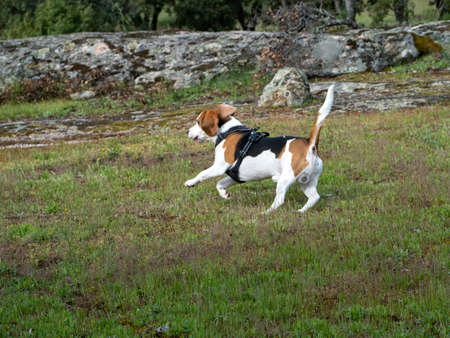 Puppy running over a meadow. White, brown, black puppy running over a rural scene with a lake and rocks behind. Foto de archivo