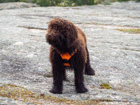 Woolly dog standing on a rocky surface looking to one side. Brown shaggy dog with orange harness standing on a rocky surface. Foto de archivo