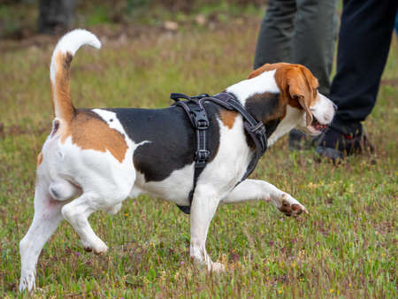 Brown and white puppy walking in the park. Puppy with black harness walking away with people behind. Foto de archivo