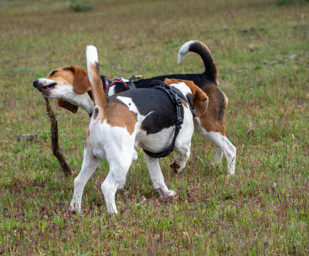 Puppies playing with stick on grassy field. Two brown and white puppies playing in the park.