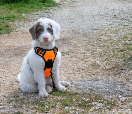 Woolly white puppy sitting on a path in the woods. White puppy with spots in its face wearing orange harness.
