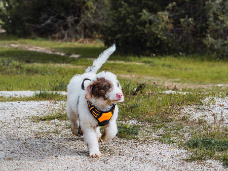 Woolly white puppy walking on a path in the woods. White puppy with spots in its face wearing orange harness. Foto de archivo