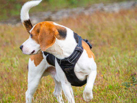 Brown and white puppy walking over the meadow. Puppy with black harness looking away. Foto de archivo