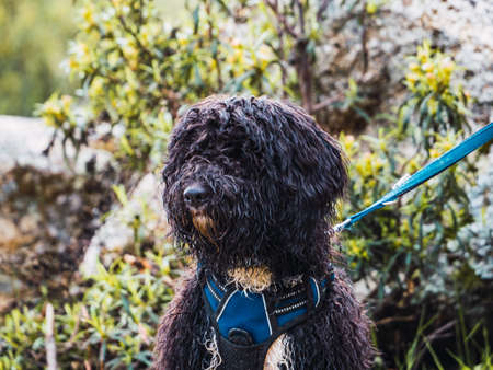 Portrait of a woolly black dog in the park. Dog with a blue harness and leash looking away. Foto de archivo
