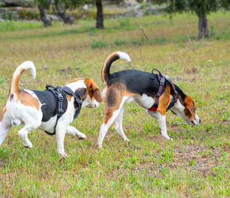Two puppies walking on grassy field. Two brown and white puppies walking together in the park.