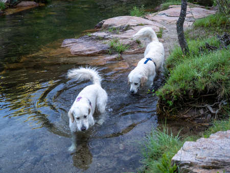 Two dogs walking along the bank of a river. Two dogs with harness in a pond on the shore.