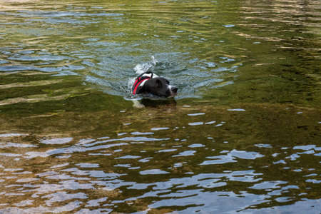Puppy swimming in a lake in sunny day. Black and white dog swimming in a laggon.