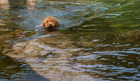 Woolly puppy learning to swim in a lake. Brown woolly puppy learning to swim in a lagoon. Foto de archivo