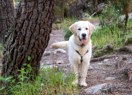 Attentive dog standing in a woodland. Doggy with harness standing walkin a forest in a sunny day.
