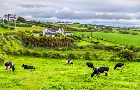 北アイルランドのアントリムで牧草地で牛の群れ