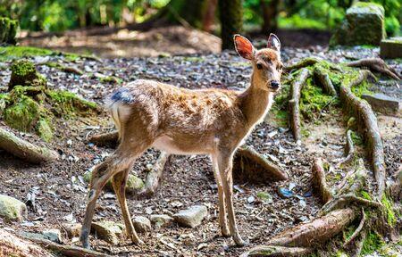 sika deer: Young sika deer in Nara Park - Japan Stock Photo